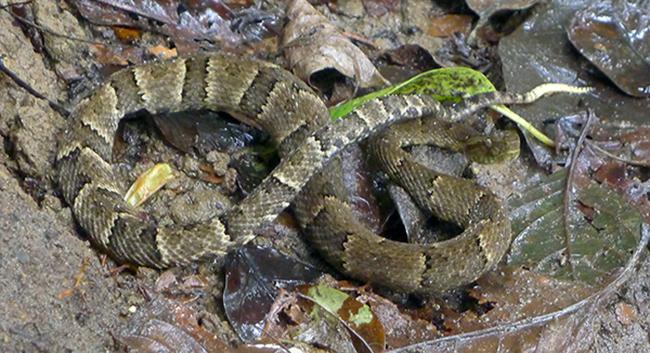 2016 01 Un Poco del Choco Snake
